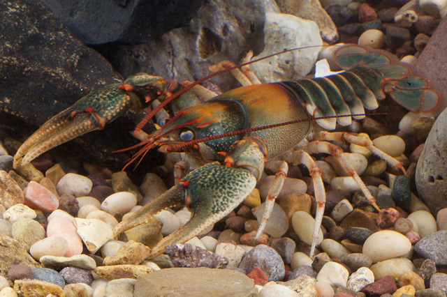 Difference Between Crayfish and Lobster_Figure 01