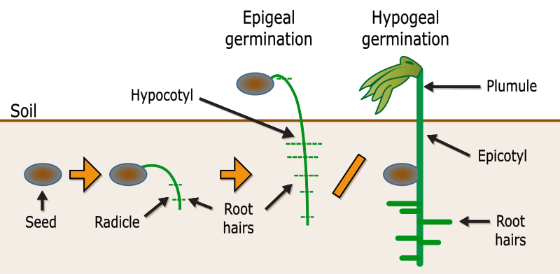 Difference Between Epigeal and Hypogeal Germination_Figure 2