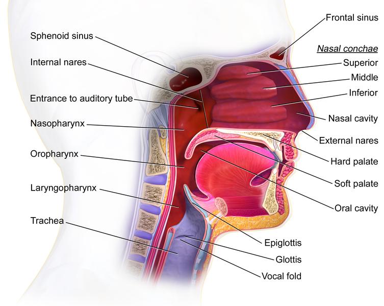 Difference Between Glottis And Epiglottis Pediaa