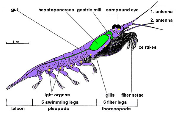 Difference Between Krill and Shrimp_Figure 1