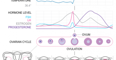 Difference Between Ovulation and Menstruation