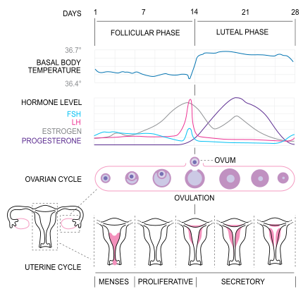Difference Between Ovulation and Menstruation_Figure 02