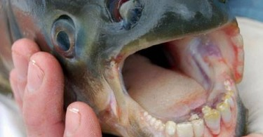 Difference Between Pacu and Piranha