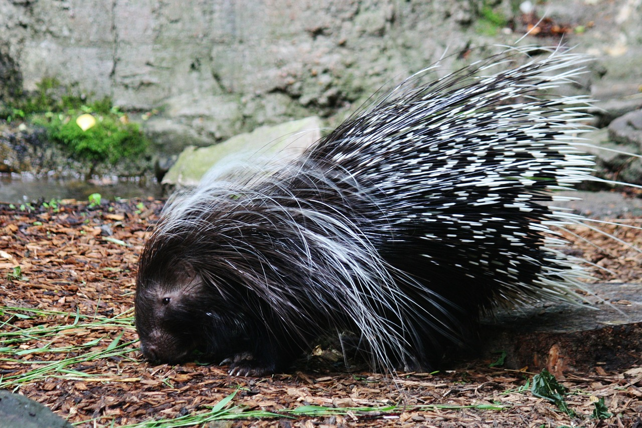 Difference Between Porcupine and Hedgehog