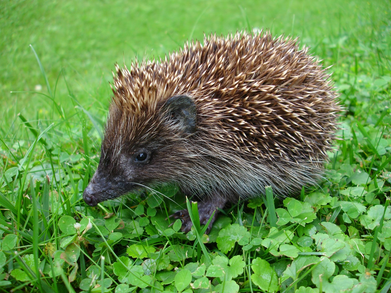 Main Difference - Porcupine and Hedgehog
