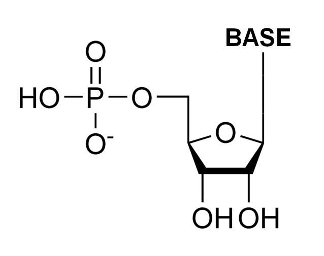 Difference Between Ribonucleotide and Deoxyribonucleotide