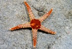 Difference Between Sea Star and Starfish