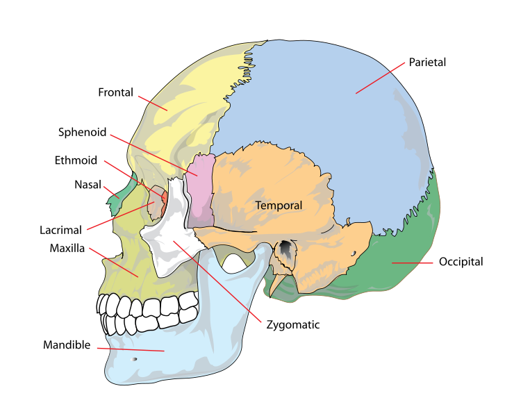 Main Difference - Skull and Cranium