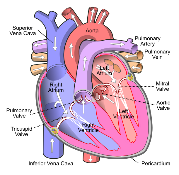 Difference Between Superior and Inferior Vena Cava_Figure 1