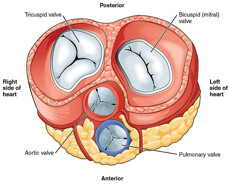 Difference Between Tricuspid and Bicuspid Valve_Figure 1