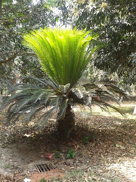 Difference Between Cycas and Pinus_Figure 1