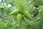 Cycas vs Pinus