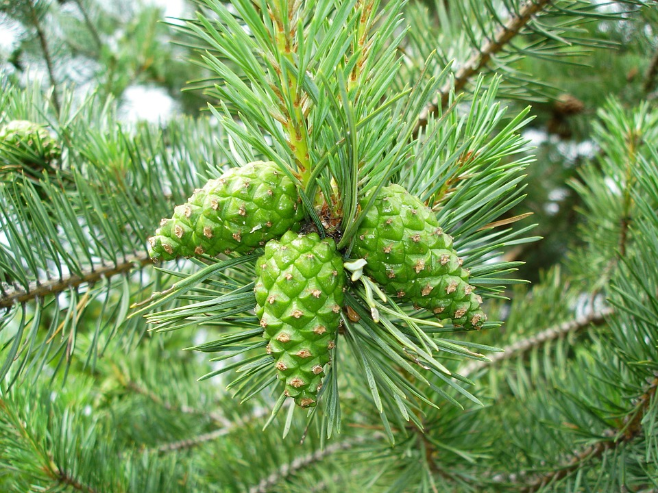 Difference Between Cycas and Pinus_Figure 4