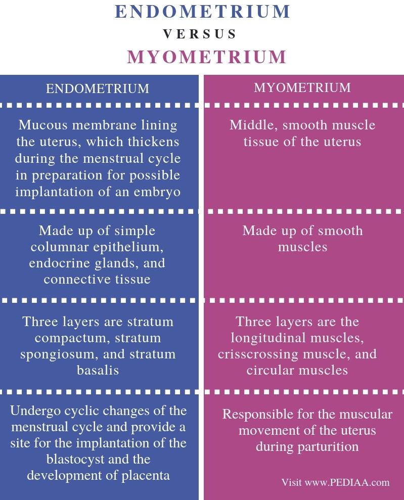 Difference Between Endometrium and Myometrium - Comparison Summary