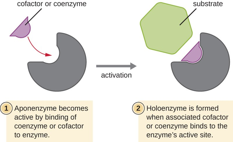 difference between enzyme and coenzyme pediaa com