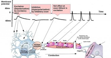 Difference Between Excitatory and Inhibitory Neurons