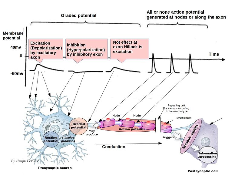 Difference Between Excitatory and Inhibitory Neurons_Figure 2
