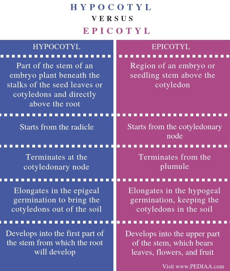 Difference Between Hypocotyl and Epicotyl - Comparison Summary