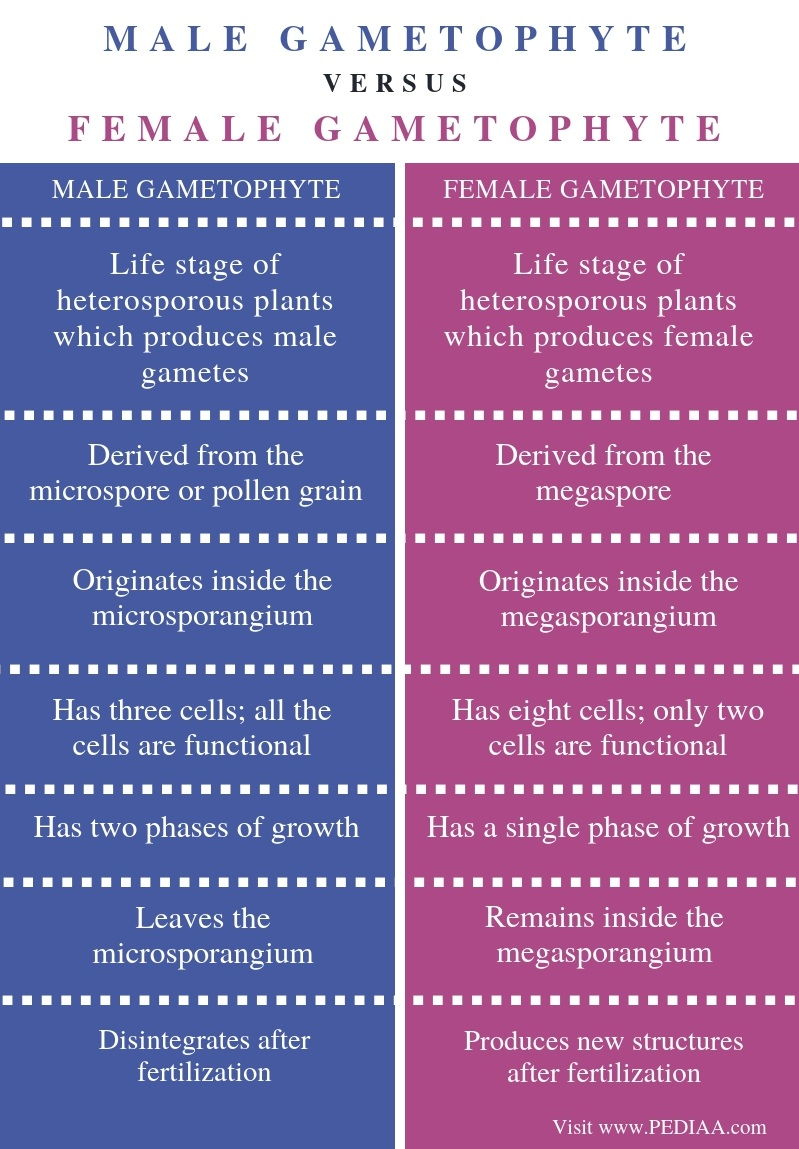 Difference Between Male and Female Gametophyte - Comparison Summary