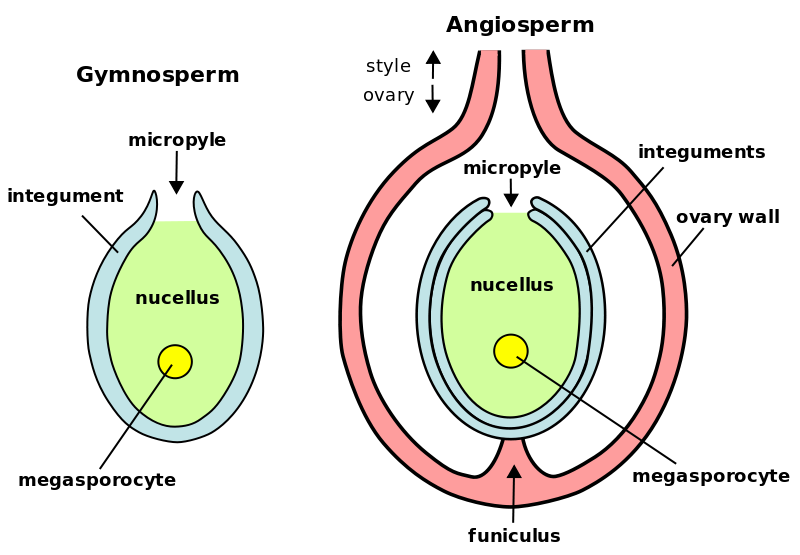 Difference Between Megasporangium and Microsporangium_Figure 1