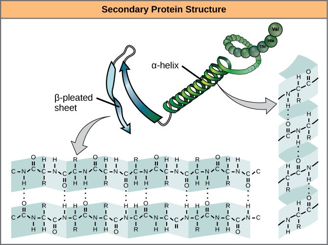 Difference Between Primary Secondary and Tertiary Structure of Protein_Figure 2