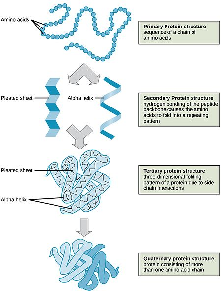 Difference Between Primary Secondary and Tertiary Structure of Protein_Figure 3