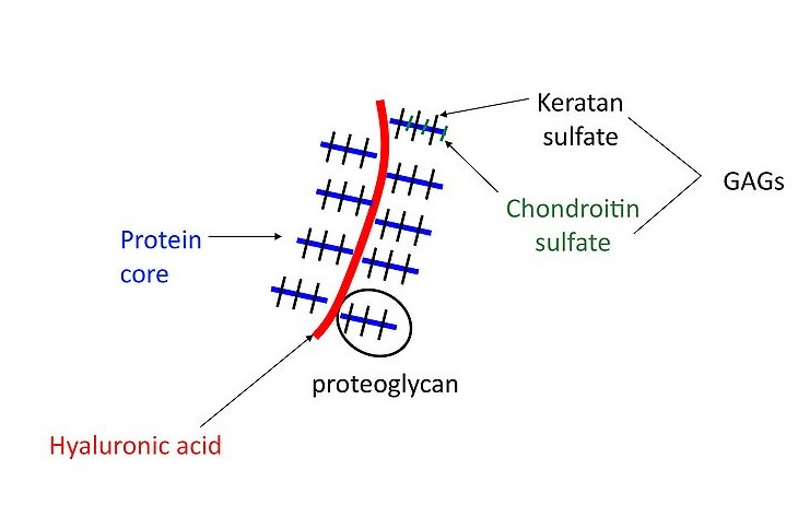 Difference Between Proteoglycan and Glycoprotein_Figure 1