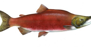 Difference Between Red and Pink Salmon