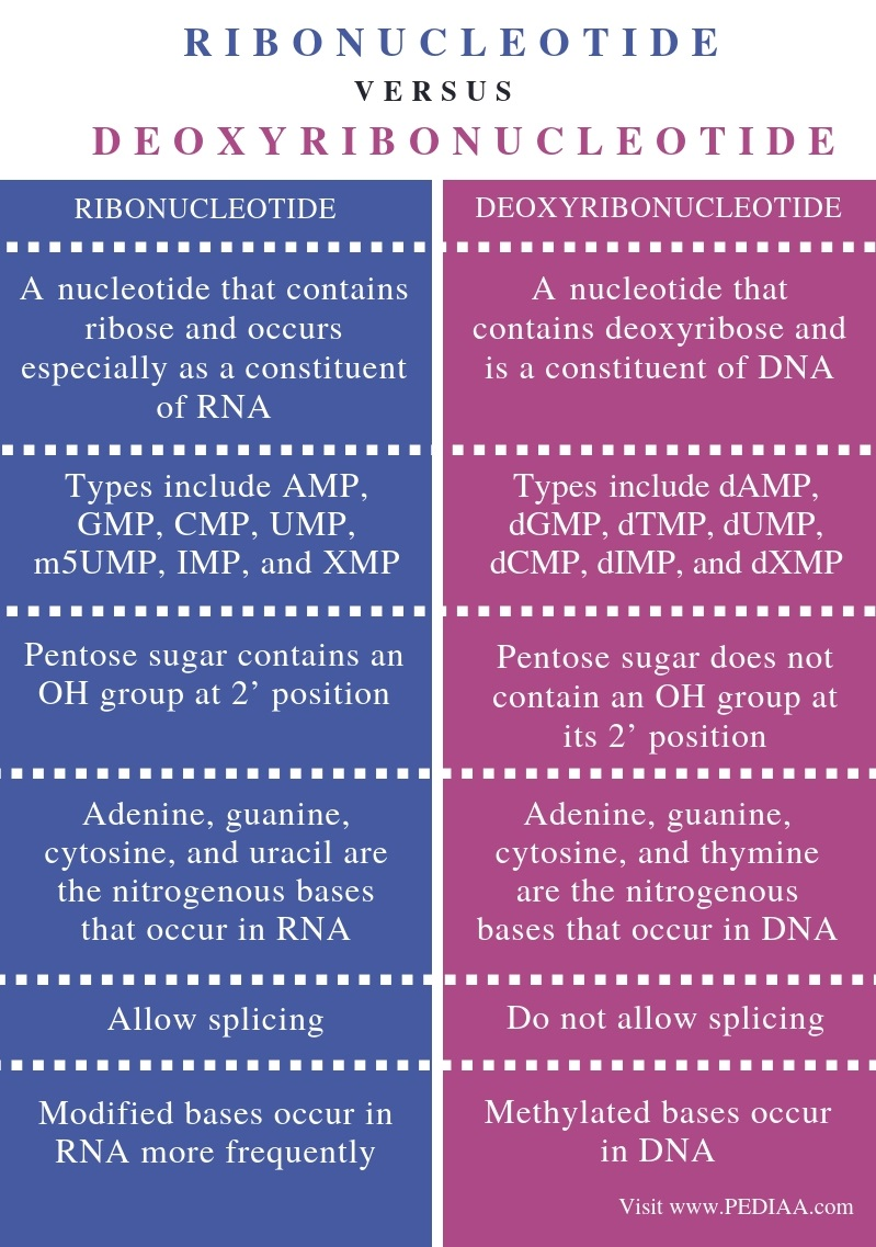 Difference Between Ribonucleotide and Deoxyribonucleotide - Comparison Summary