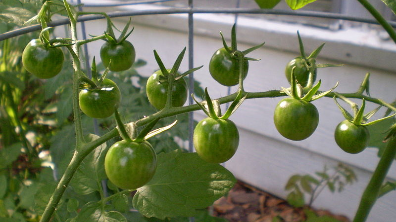 Main Difference - Determinate and Indeterminate Tomatoes