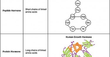 Difference Between Prostaglandins and Hormones