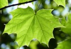 What is the Difference Between Simple Leaf and Compound Leaf