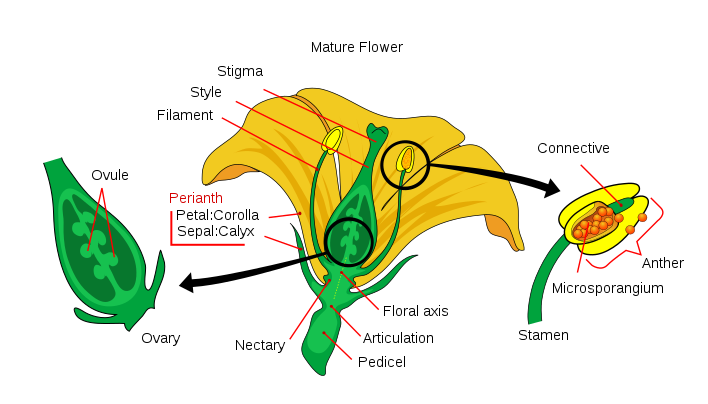 What is the Difference Between Stamen and Pistil_Figure 1