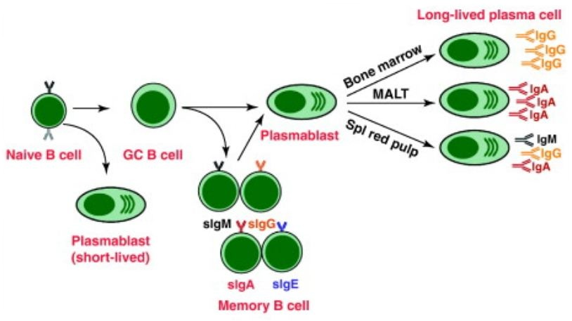 Difference Between B Cells and Plasma Cells
