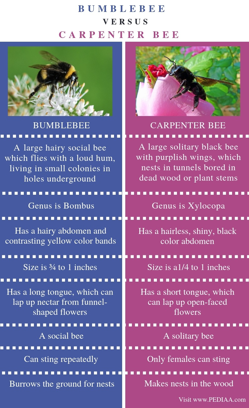 Difference Between Bumblebee and Carpenter Bee- Comparison Summary