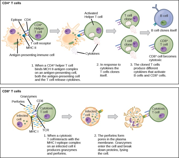 Difference Between Cytotoxic T Cells and Helper T Cells