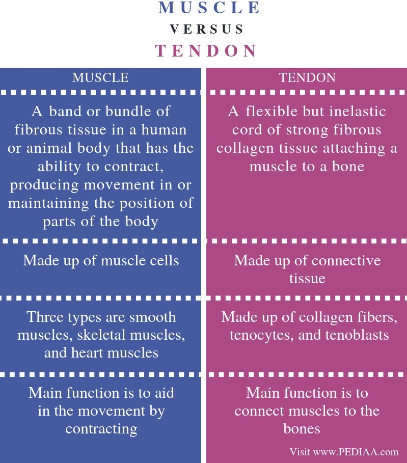 Difference Between Muscle and Tendonl- Comparison Summary