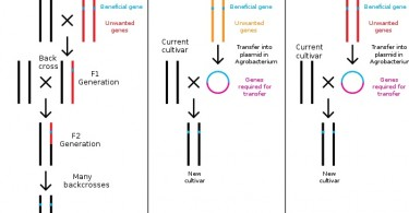 Figure 1: Conventioanl Breeding, Transgenesis, and Cisgenesis