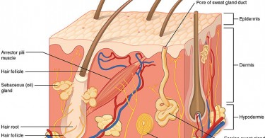 What is the Difference Between Apocrine and Eccrine Sweat Glands