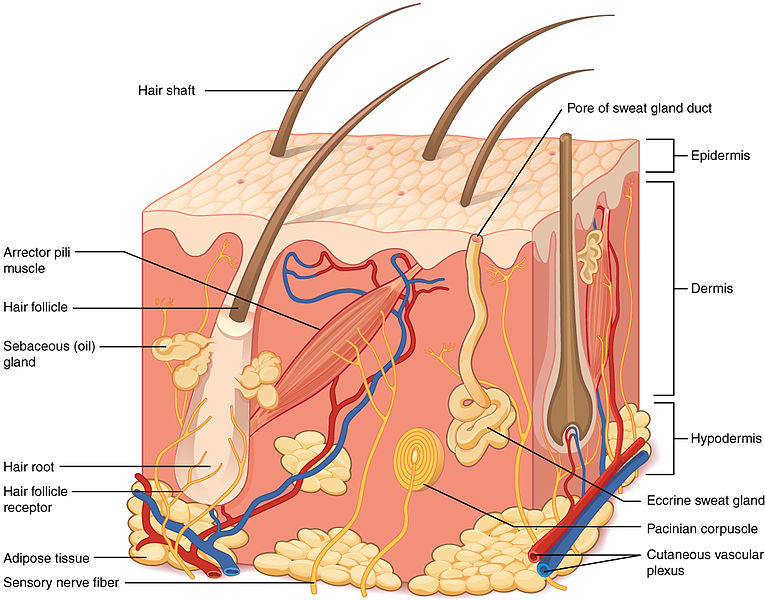 What is the Difference Between Apocrine and Eccrine Sweat Glands ...