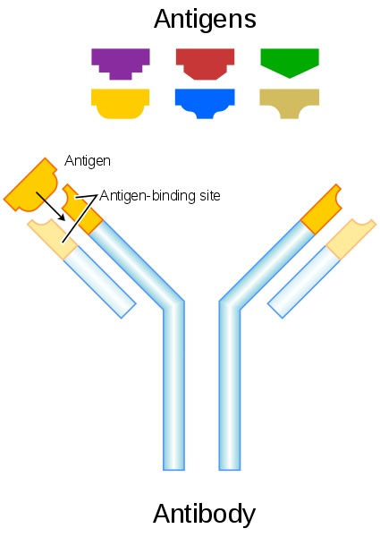 Main Difference - B Cell Receptor vs Antibody