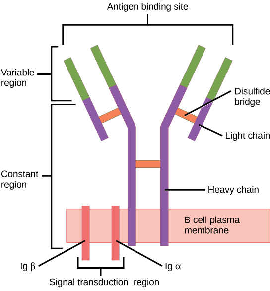What is the Difference Between B Cell Receptor and Antibody