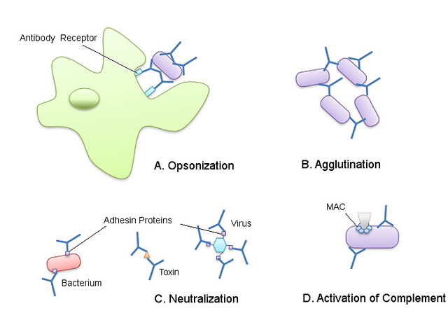 Difference Between B Cell Receptor and Antibody