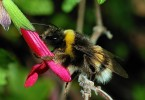 What is the Difference Between Bumble Bee and Carpenter Bee