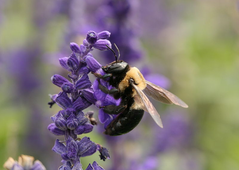 Main Difference - Bumble Bee and Carpenter Bee