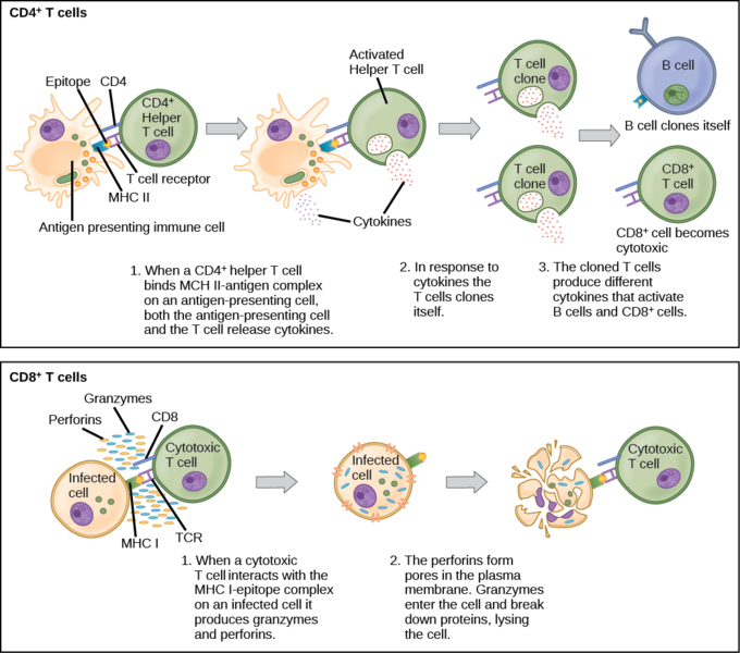 What Is The Difference Between Cytotoxic T Cells And