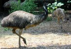 What is the Difference Between Emu and Ostrich