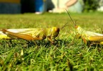 What is the Difference Between Grasshopper and Cricket
