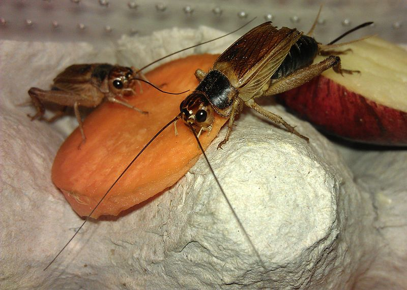 Difference Between Grasshopper and Cricket