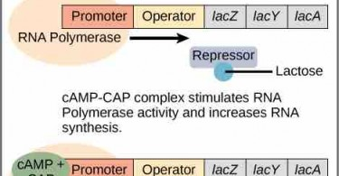 What is the Difference Between Inducible and Repressible Operons